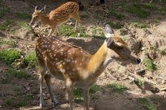 deers dostrzegający Fotografia Royalty Free