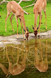 Deers drinking water Stock Image