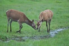 deers dwa Zdjęcia Stock