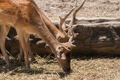 Deers eating dried grass. Deers in safari park Royalty Free Stock Image
