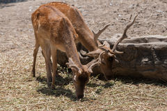 Deers eating dried grass. Deers in safari park Royalty Free Stock Photography