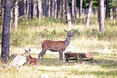 Deers eating. In the forest Stock Image