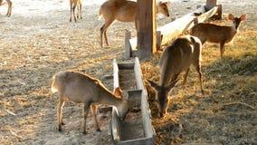 Deers eating hay Royalty Free Stock Images