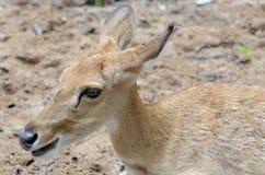 deers eld s 免版税图库摄影