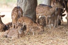 Deers en barbecho Imágenes de archivo libres de regalías