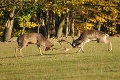 Deers en barbecho de la lucha en rodera Imágenes de archivo libres de regalías