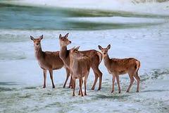 Deers en el hielo river5 Imagenes de archivo
