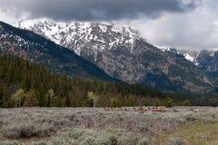 Deers en el parque nacional magnífico de Teton Imagen de archivo