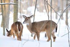 Deers en la montaña nevosa Foto de archivo libre de regalías