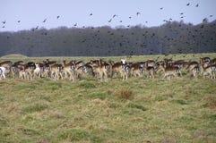 Deers et oiseaux au stationnement de Dyrehave Images libres de droits