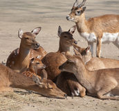 Deers family Royalty Free Stock Images