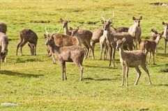 Deers in farm Stock Image