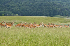 Deers in a farm Royalty Free Stock Photo