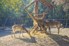 Deers feeding Royalty Free Stock Photography