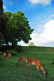 Deers feeding on pasture in the shade. Deers are seen as a religious symbol in Japan. Suitable for concepts such as serenity and tranquility, travel and Royalty Free Stock Photography