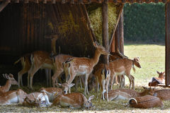 Deers at feeding place Stock Image