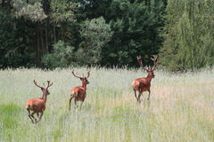 Deers on the field. Deer field meadow grass animal animals stag forest the wood wildlife green antlers summer Royalty Free Stock Images