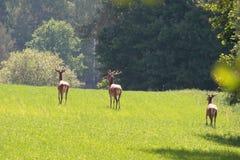 Deers on the field. Deer deers field meadow grass animal animals stag forest the wood wildlife green antlers summer Royalty Free Stock Photos