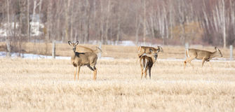 Deers in a field Royalty Free Stock Photo
