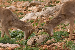 Deers fighting. In a wild life reserve in Israel Stock Image