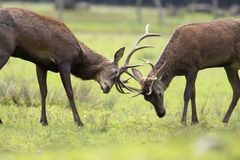Deers fighting Royalty Free Stock Images
