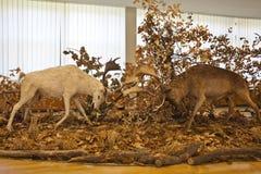 Deers fighting Stock Photos