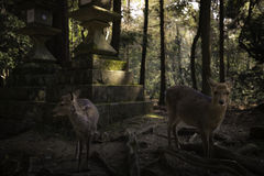Deers in the forest Stock Image