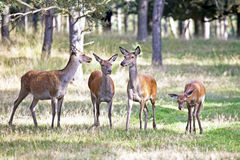 Deers in the forest. Looking Royalty Free Stock Photos