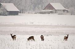 Deers. Four deers in the field Royalty Free Stock Images