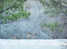Deers in frosty forest. Royalty Free Stock Photos