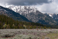 Deers in Grand Teton National Park Stock Image