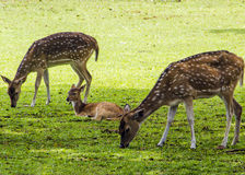 Deers on the grass. A pack of deers on the grass Stock Images