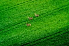 Deers graze in the field Stock Photography