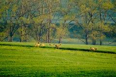 Deers graze in the field Stock Photo
