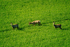 Deers graze in the field Royalty Free Stock Images