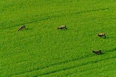 Deers graze in the field Stock Photos