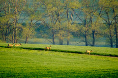Deers graze in the field Royalty Free Stock Image