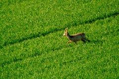 Deers graze in the field Royalty Free Stock Photos