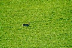 Deers graze in the field Stock Images