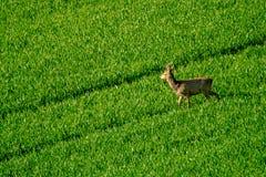 Deers graze in the field Royalty Free Stock Image