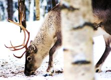 DEERS GRAZE FOR FOOD IN THE COLD WILDERNESS OF SNOWY LAPLAN FINLAND. DEERS GRAZE FOR FOOD ON THE SNOWY LANDSCAPES OF THE COLD LAPLAND FINLAND stock image