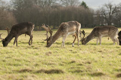 Deers Grazing Royalty Free Stock Images