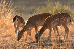 Deers grazing in summer time. Three deers grazing  in landscape during summer time Royalty Free Stock Image