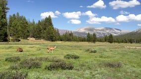Deers grazing in Yosemite Valley stock video