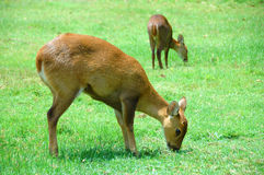 2 deers. In a green field Royalty Free Stock Image