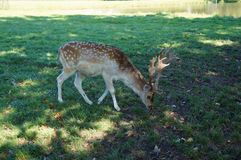 Deers on the green grass stock photography