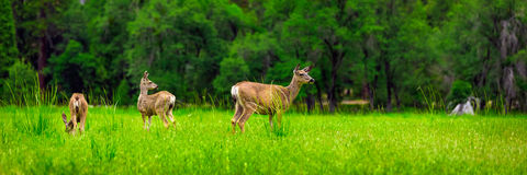 Deers Royalty Free Stock Images
