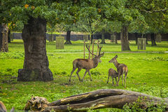 Deers. Of Greenwich University. London. United Kingdom Royalty Free Stock Photography