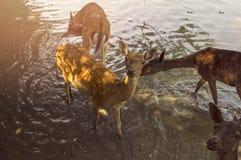 Deers Stock Photos