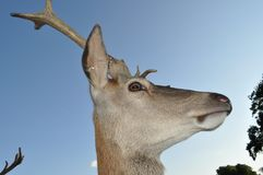 Deers head close up side shot Stock Photo